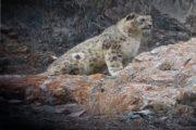 snow leopard spotting trek ladakh
